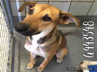 Mix-Bred GERMAN SHEPHERD DOG Female  Young  Puppy #A443548#  Animal Care Services (San Antonio) - click here to view larger pic
