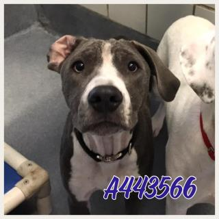 Mix-Bred POINTER Female  Young  Puppy #A443566#  Animal Care Services (San Antonio) - click here to view larger pic