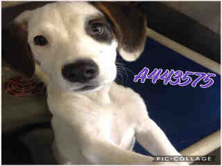 Mix-Bred AMERICAN STAFFORDSHIRE TERRIER Female  Young  Puppy #A443575#  Animal Care Services (San Antonio) - click here to view larger pic