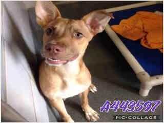 PIT BULL TERRIER Female  Young  Puppy #A443597#  Animal Care Services (San Antonio) - click here to view larger pic