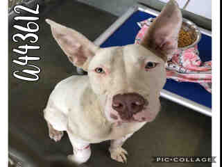 Mix-Bred PIT BULL TERRIER Female  Young  Puppy #A443612#  Animal Care Services (San Antonio) - click here to view larger pic
