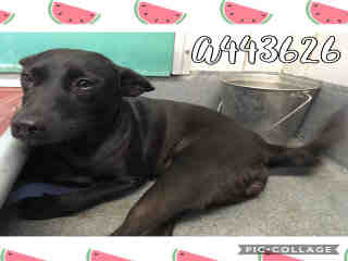 Mix-Bred LABRADOR RETRIEVER Female  Young  Puppy #A443626#  Animal Care Services (San Antonio) - click here to view larger pic