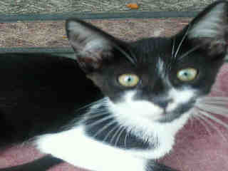 Mix-Bred DOMESTIC SHORTHAIR Male  Young  Kitten #A443631#  Animal Care Services (San Antonio) - click here to view larger pic