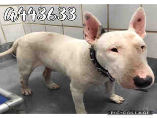 BULL TERRIER Male  Adult  Dog #A443633#  Animal Care Services (San Antonio) - click here to view larger pic