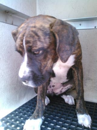 Mix-Bred BOXER Female  Young  Puppy #A443661#  Animal Care Services (San Antonio) - click here to view larger pic