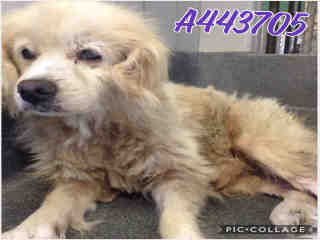 Mix-Bred COCKER SPANIEL Male  Older  Dog #A443705#  Animal Care Services (San Antonio) - click here to view larger pic