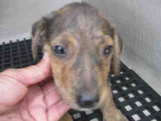 DACHSHUND Male  Young  Puppy #A443718#  Animal Care Services (San Antonio) - click here to view larger pic