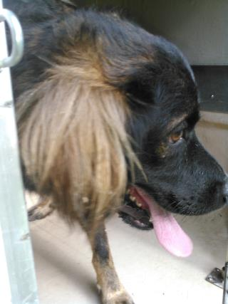 Mix-Bred LABRADOR RETRIEVER Male  Adult  Dog #A443725#  Animal Care Services (San Antonio) - click here to view larger pic