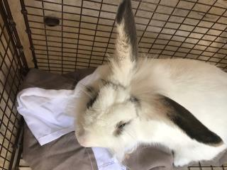 SHORTHAIRED RABBIT Male  Exotic #A443763#  Animal Care Services (San Antonio) - click here to view larger pic