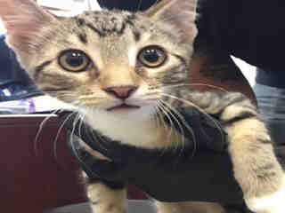 Mix-Bred DOMESTIC SHORTHAIR Male  Young  Kitten #A443775#  Animal Care Services (San Antonio) - click here to view larger pic