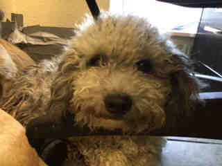 Mix-Bred POODLE - MINIATURE Male  Young  Puppy #A443786#  Animal Care Services (San Antonio) - click here to view larger pic