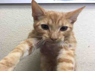 Mix-Bred DOMESTIC SHORTHAIR Male  Young  Kitten #A443788#  Animal Care Services (San Antonio) - click here to view larger pic