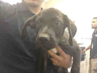 Mix-Bred LABRADOR RETRIEVER Male  Young  Puppy #A443789#  Animal Care Services (San Antonio) - click here to view larger pic