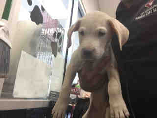 Mix-Bred LABRADOR RETRIEVER Male  Young  Puppy #A443790#  Animal Care Services (San Antonio) - click here to view larger pic