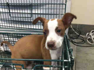 Mix-Bred POINTER Female  Young  Puppy #A443791#  Animal Care Services (San Antonio) - click here to view larger pic
