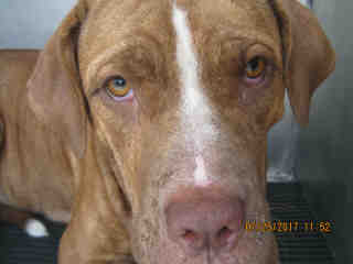 AMERICAN STAFFORDSHIRE TERRIER Female  Dog #A443794#  Animal Care Services (San Antonio) - click here to view larger pic