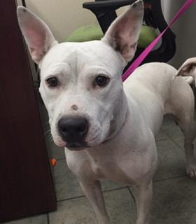 Mix-Bred AMERICAN STAFFORDSHIRE TERRIER Female  Adult  Dog #A443799#  Animal Care Services (San Antonio) - click here to view larger pic