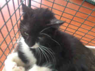 Mix-Bred DOMESTIC MEDIUMHAIR Female  Young  Kitten #A443802#  Animal Care Services (San Antonio) - click here to view larger pic