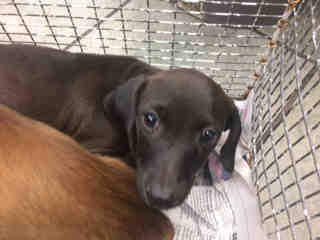 Mix-Bred DACHSHUND Female  Young  Puppy #A443806#  Animal Care Services (San Antonio) - click here to view larger pic