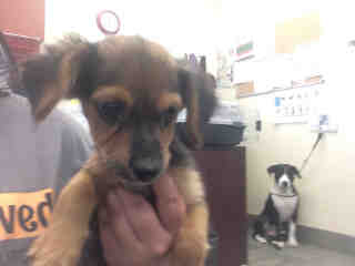 Mix-Bred DACHSHUND Female  Young  Puppy #A443810#  Animal Care Services (San Antonio) - click here to view larger pic