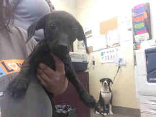 Mix-Bred DACHSHUND Female  Young  Puppy #A443811#  Animal Care Services (San Antonio) - click here to view larger pic