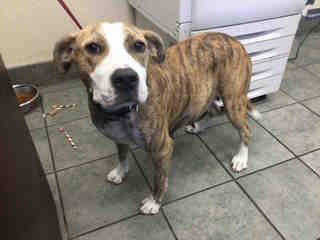 AMERICAN STAFFORDSHIRE TERRIER Female  Young  Puppy #A443862#  Animal Care Services (San Antonio) - click here to view larger pic