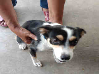 Mix-Bred RAT TERRIER Female  Adult  Dog #A443869#  Animal Care Services (San Antonio) - click here to view larger pic