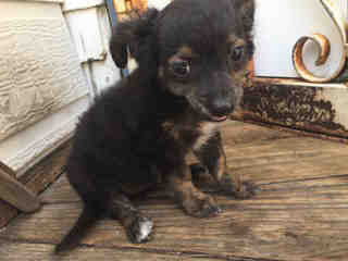 Mix-Bred CHIHUAHUA - SMOOTH COATED Female  Young  Puppy #A443874#  Animal Care Services (San Antonio) - click here to view larger pic
