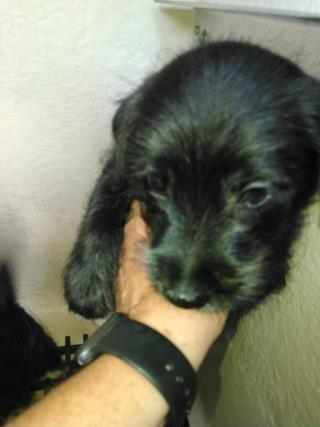 Mix-Bred TERRIER Male  Young  Puppy #A443898#  Animal Care Services (San Antonio) - click here to view larger pic