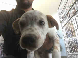 <u> Mix-Bred CATAHOULA LEOPARD HOUND Male  Young  Puppy  (Secondary Breed: BLEND)</u>