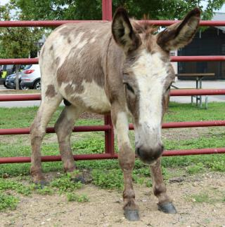 <u>DONKEY Male  Exotic </u>