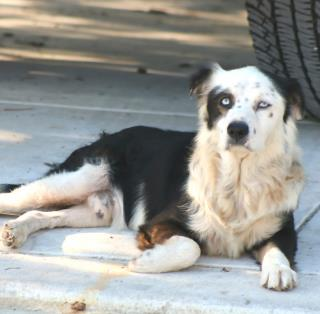 <u> Mix-Bred BORDER COLLIE Male  Adult  Dog  (Secondary Breed: BLEND)</u>