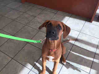 <u> Mix-Bred BOXER Male  Young  Puppy  (Secondary Breed: BLEND)</u>