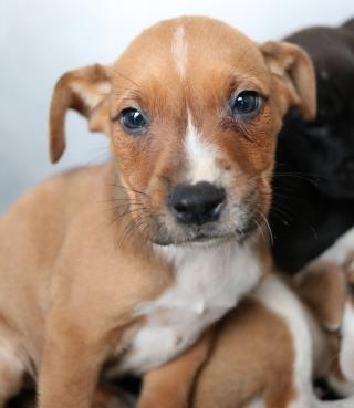 <u> Mix-Bred AMERICAN STAFFORDSHIRE TERRIER Male  Young  Puppy  (Secondary Breed: CHIHUAHUA - SMOOTH COATED)</u>