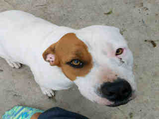 <u> Mix-Bred AMERICAN STAFFORDSHIRE TERRIER Female  Adult  Dog  (Secondary Breed: BLEND)</u>