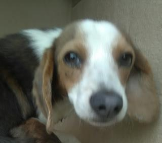 <u> Mix-Bred BEAGLE Male  Young  Puppy  (Secondary Breed: BLEND)</u>