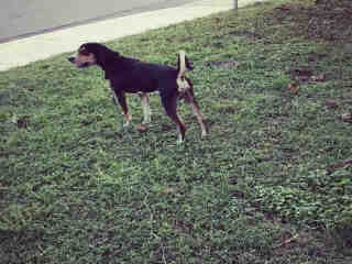 <u> Mix-Bred BLACK AND TAN COONHOUND Male  Adult  Dog  (Secondary Breed: BLEND)</u>
