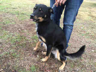 <u> Mix-Bred AUSTRALIAN SHEPHERD Male  Adult  Dog  (Secondary Breed: ROTTWEILER)</u>