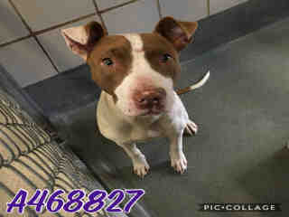 <u> Mix-Bred AMERICAN STAFFORDSHIRE TERRIER Female  Young  Puppy  (Secondary Breed: BLEND)</u>