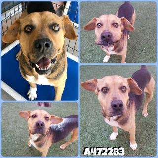 <u> Mix-Bred AMERICAN STAFFORDSHIRE TERRIER Male  Adult  Dog  (Secondary Breed: BEAGLE)</u>