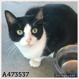 Mix-Bred DOMESTIC SHORTHAIR Female  Adult  Cat #A473537#  Animal Care Services (San Antonio) - click here to view larger pic