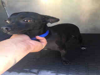 CHIHUAHUA - SMOOTH COATED Female  Adult  Dog #A477211#  Animal Care Services (San Antonio) - click here to view larger pic