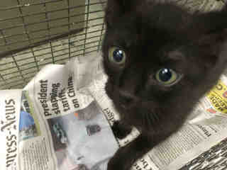 Mix-Bred DOMESTIC SHORTHAIR Male  Young  Kitten #A478143#  Animal Care Services (San Antonio) - click here to view larger pic