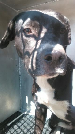Mix-Bred AMERICAN STAFFORDSHIRE TERRIER Female  Young  Puppy #A478756#  Animal Care Services (San Antonio) - click here to view larger pic