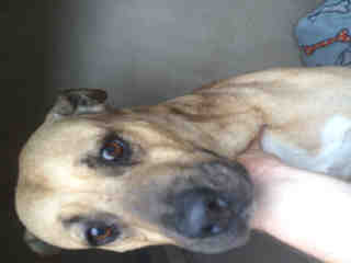 <u>BLACK MOUTH CUR Male  Adult  Dog </u>