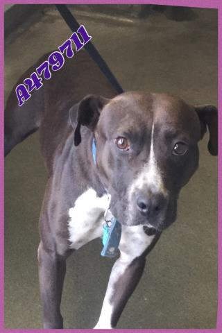 <u>AMERICAN STAFFORDSHIRE TERRIER Female  Adult  Dog </u>