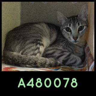 Mix-Bred DOMESTIC SHORTHAIR Female  Young  Kitten #A480078#  Animal Care Services (San Antonio) - click here to view larger pic