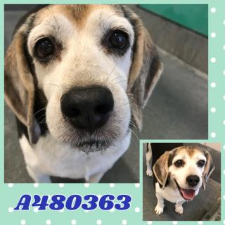 <u>BEAGLE Male  Older  Dog </u>