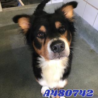 <u> Mix-Bred AUSTRALIAN SHEPHERD Male  Adult  Dog  (Secondary Breed: BLEND)</u>