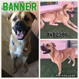<u> Mix-Bred BLACK MOUTH CUR Male  Adult  Dog  (Secondary Breed: BLEND)</u>